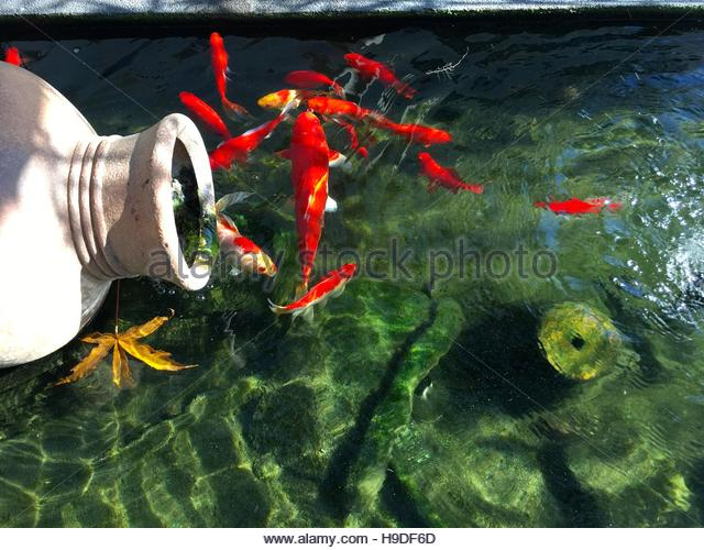 Koi fish pond stock photos koi fish pond stock images for Koi pool water gardens poulton