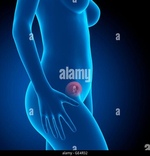 Fetus 12 Weeks Stock Photos & Fetus 12 Weeks Stock Images ...