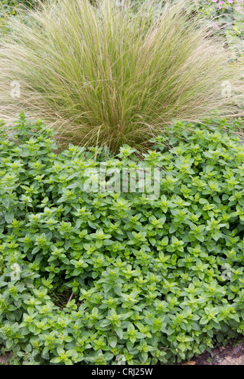 Ornamental grasses border grasses stock photos for Large ornamental grass plants