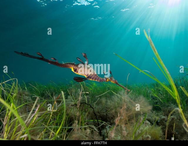 Sea Dragon Australia Stock Photos & Sea Dragon Australia ...