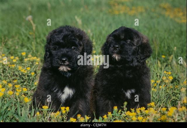 Bouvier Des Flandres 8 Weeks Sitting Cute Pups Blac...