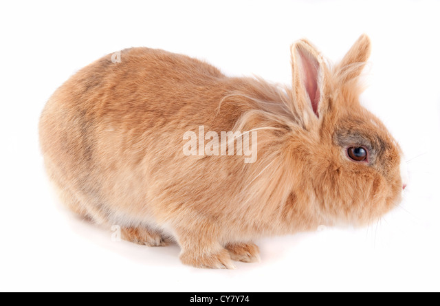 Brown Lionhead Rabbit 93964 | MEDIABIN
