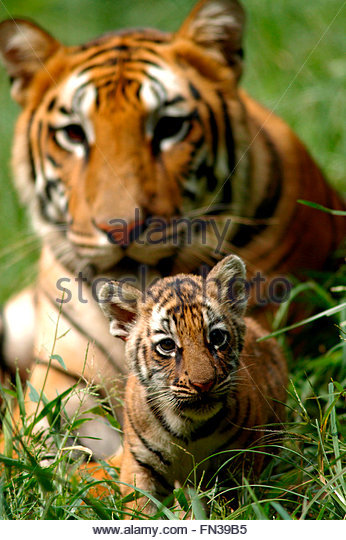 Tiger Cub Playing Stock Photos & Tiger Cub Playing Stock ...