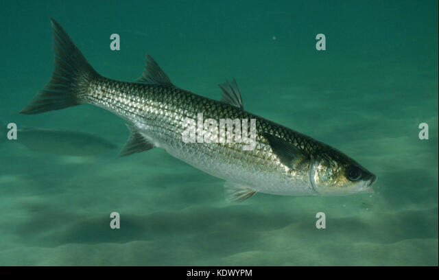 Grey mullet stock photos grey mullet stock images alamy for Eating mullet fish