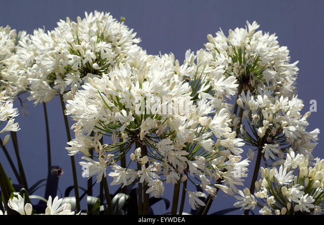 agapanthus pot stock photos agapanthus pot stock images. Black Bedroom Furniture Sets. Home Design Ideas