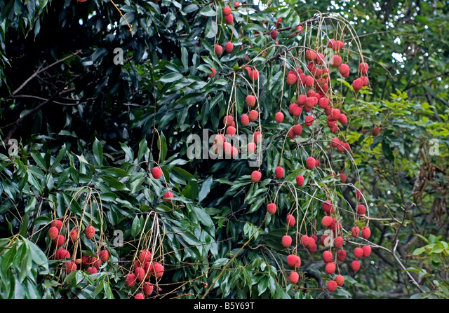 lychee tree red fruit stock photos  lychee tree red fruit stock, Beautiful flower