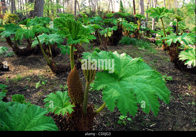 how to grow gunnera in a tub