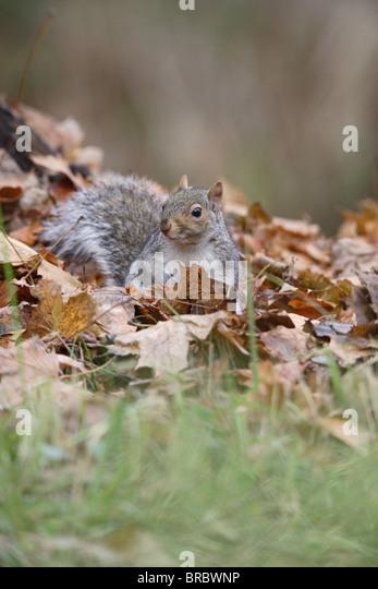 Squirrels lick leaf