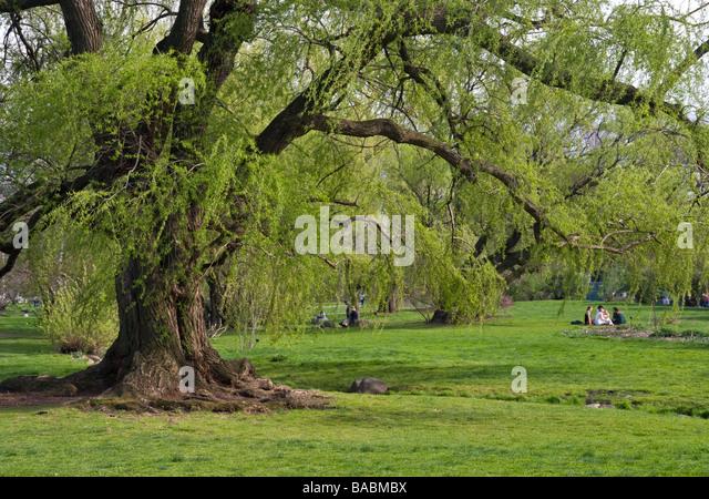 Wisconsin weeping willow tree salix pendulina blanda stock image