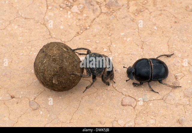 Rhino Dung Beetle - Bing images Q The Dung Beetle