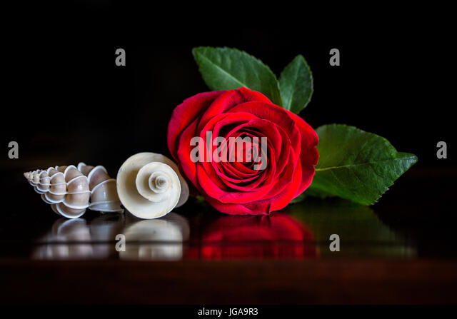 A Red Rose with a Precious Wentletrap and Thatcheria Shell displaying spires and spirals of nature in a still life - Stock Image