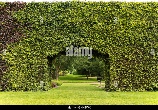Royal Botanic Garden Edinburgh RBGE. Famous Century Old Beech Hedge 8  Meters; 23ft