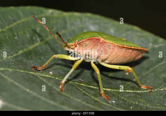a mature adult insect