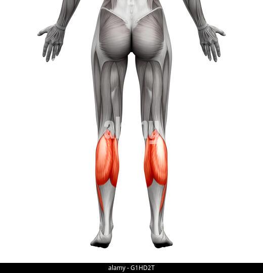 gastrocnemius muscle stock photos & gastrocnemius muscle stock, Cephalic Vein