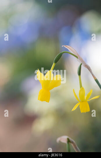Cup shaped yellow flowers stock photos cup shaped yellow flowers narcissus solveigs song miniature daffodil flowers stock image mightylinksfo