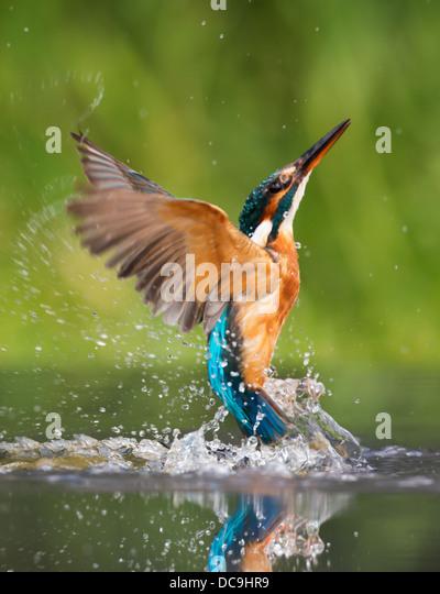 Kingfisher Flying Kingfisher Uk F...