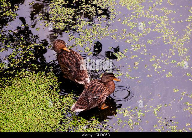 Overgrown garden pond stock photos overgrown garden pond for Garden pool duckweed
