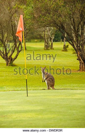 Hawks Nest Australia  city pictures gallery : Australia Flag Kangaroo Stock Photos & Australia Flag Kangaroo Stock ...