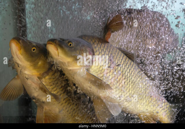 Budapests stock photos budapests stock images alamy for Live fish for sale online