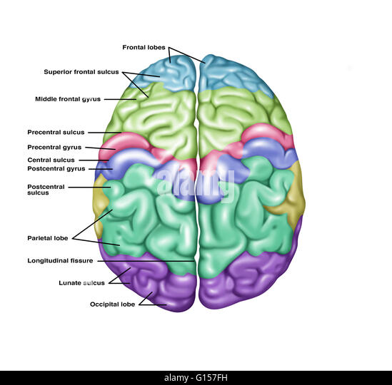 brain top bottom into