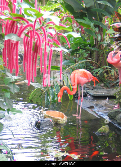 Flamingos In Butterfly Gardens Victoria Vancouver Island British Columbia  Canada   Stock Image