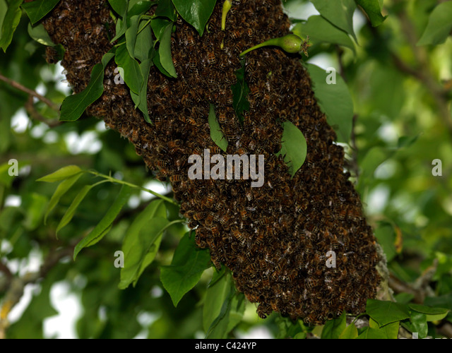 pear trees and the bees In mature orchards, there should be 20-25 bees on apples trees, 10-15 bees on  pear trees, and 25-35 bees on cherry trees these numbers indicate that.