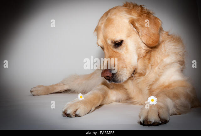 Golden retriever temperament zuverlassig