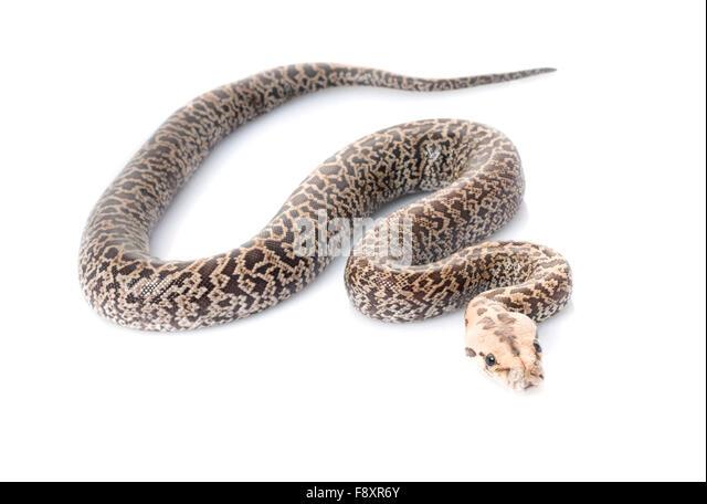 adult granite burmese python