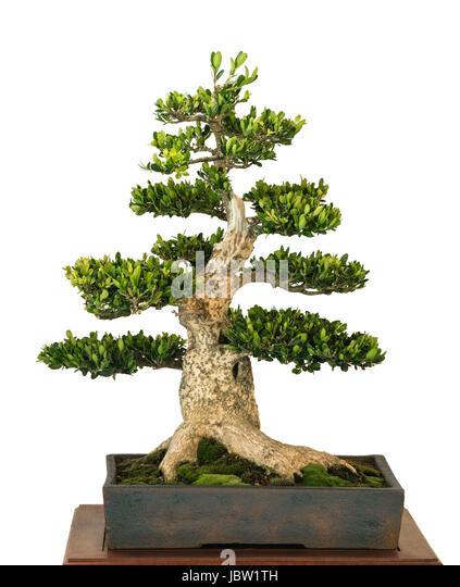 buxus bonsai stock photos buxus bonsai stock images alamy. Black Bedroom Furniture Sets. Home Design Ideas