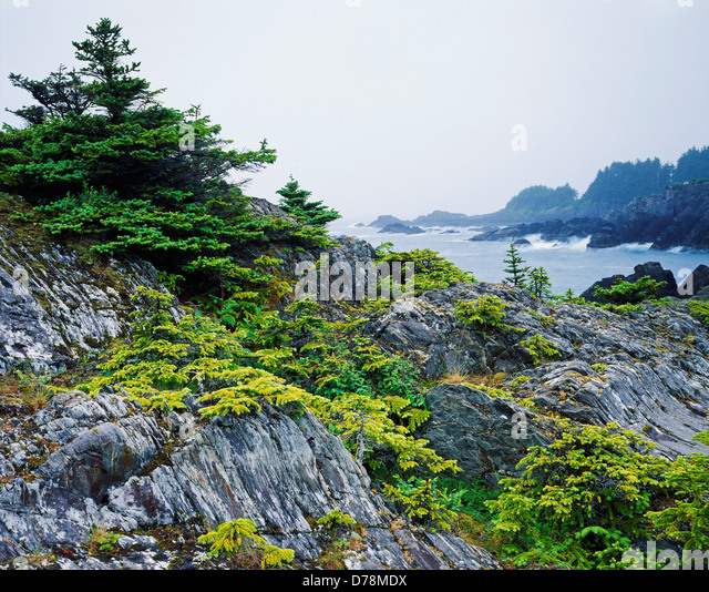 coastal sitka spruce - photo #47