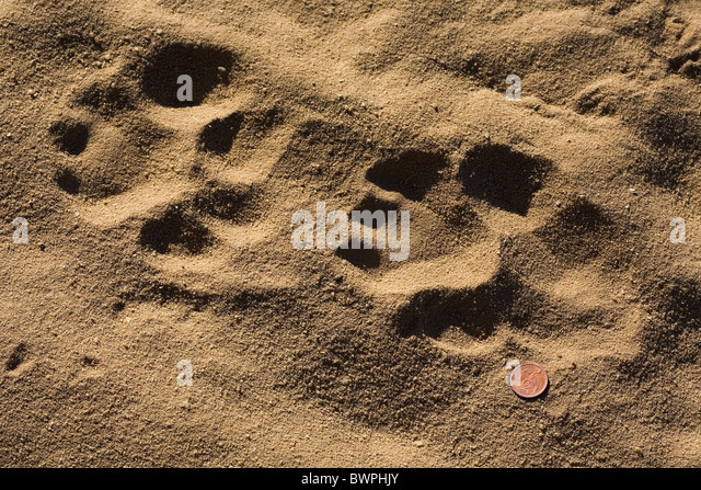 African lion paw print