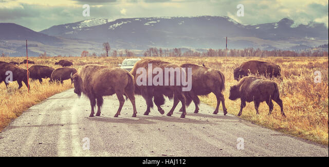 buffalo herd stock photos buffalo herd stock images alamy. Black Bedroom Furniture Sets. Home Design Ideas