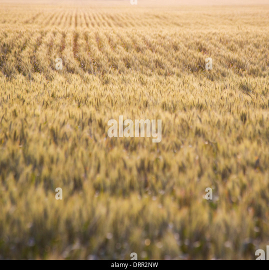 how to grow wheat in victoria