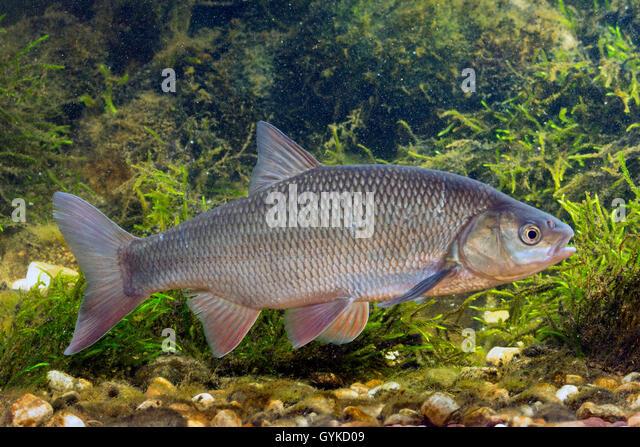 Orfe leuciscus idus stock photos orfe leuciscus idus for Goldorfe fisch