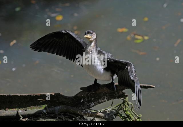 little pied cormorant little shag or kawaupaka phalacrocorax melanoleucos queensland australia