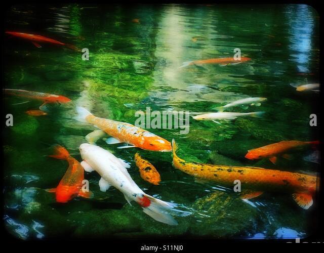 Koi pond stock photos koi pond stock images alamy for Pool koi aquatics ltd