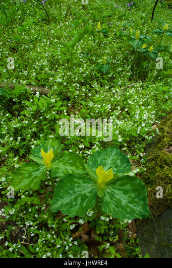 Yellow Trillium, a Spring Wildflower, in the Great Smoky Mountains National Park, TN - Stock Image