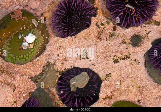 sea urchins in the intertidal zone Marine biologists and others divide the intertidal region into three zones the high intertidal zone is only sea lettuce, sea palms, sea stars, sea urchins.