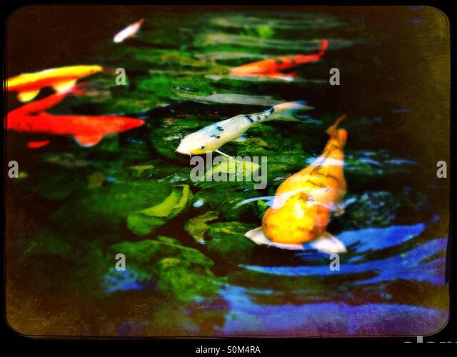 Koi carp pond stock photos koi carp pond stock images for Koi pool water gardens poulton