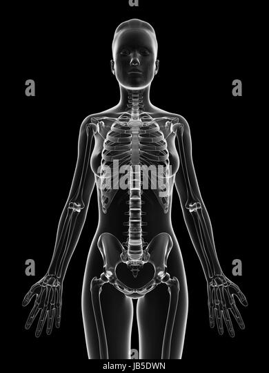 upper body bones stock photos & upper body bones stock images - alamy, Skeleton