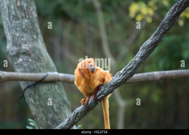 a description of golden marmosets also called leontopithecus chrysomelas The golden-headed lion tamarin (ghlt leontopithecus chrysomelas) is an endangered primate  view project  caterpillar fungus also called kira jari locally,.