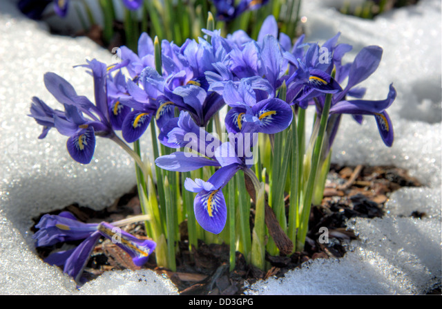 iris reticulata stock photos iris reticulata stock. Black Bedroom Furniture Sets. Home Design Ideas