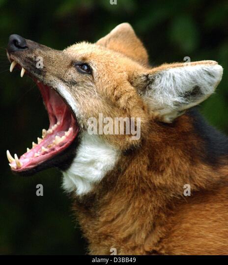 http://l7.alamy.com/zooms/51843c8f589f40b0b978fe8795f9a829/dpa-the-maned-wolf-called-lucky-snarls-in-the-zoo-in-heidelberg-germany-d3bb49.jpg