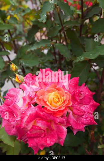 Yellow rose bush stock photos yellow rose bush stock for Multi colored rose bushes