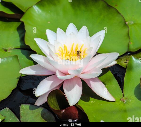 Lotus Flower Meditation Stock Photos Lotus Flower Meditation Stock Images Alamy