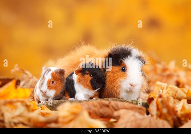 Autumn Guinea Pigs Stock Photos u0026 Autumn Guinea Pigs Stock Images - Alamy