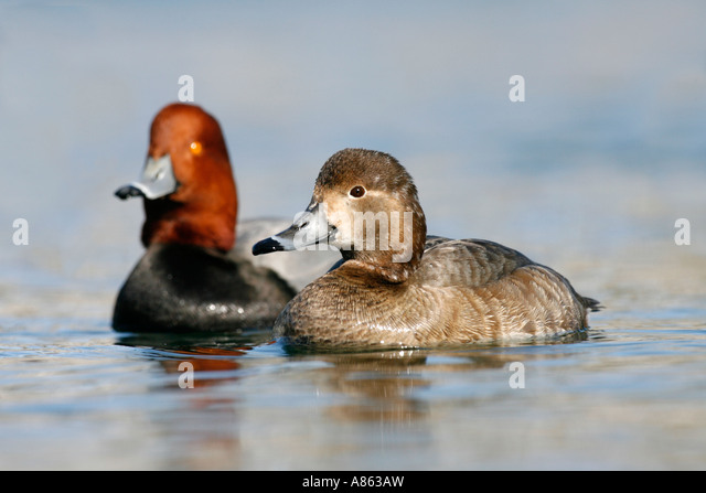 Videos of redhead ducks