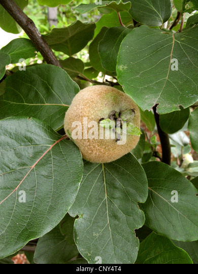 quince tree stock photos quince tree stock images alamy. Black Bedroom Furniture Sets. Home Design Ideas