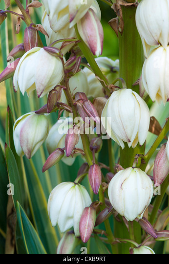 yucca filamentosa yucca filamentosa stock photos yucca filamentosa stock images
