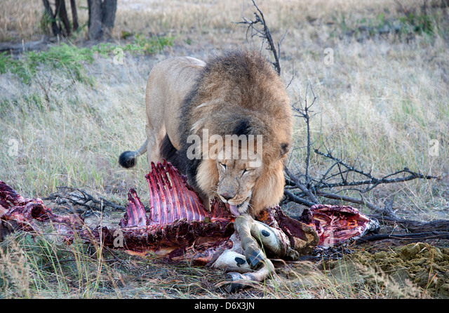 African lions lion habitat lion cubs  Wildlife Detective